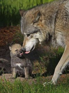 Gray Wolf Mother and Pup