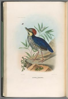 A monograph of the Pittidæ, or family of ant-thrushes. - Biodiversity Heritage Library