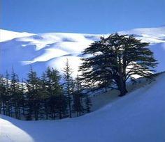 Lebanese cedars in the snow