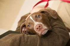 DreamABull - Home Dogs in this area looking for homes!