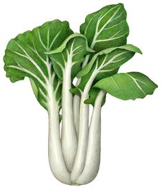 Botanical illustration of Pak Choi (Bak Choy)