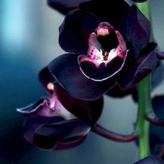 Orchidee black amazing flowers