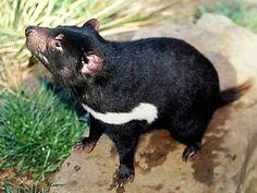 Tasmanian Devil-Endangered animals list-Our endangered animals | KONICA MINOLTA