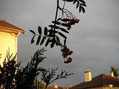 branche de sorbier sur ciel d`orage banlieue parisienne - juillet 2004 | gilda_f
