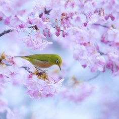 """""""DECLARATION OF SPRING"""" ~ """"The Japanese White-Eye also known as the Mejiro. The Japanese White-eye is about 4 to 4.5 inches in size, with a green forehead and a yellow throat, a greenish back, and dark brown wings and tail outlined in green. Like other white-eyes, this species exhibits the distinctive white eye ring that gives it its name (mejiro also meaning """"white eye"""" in Japanese). It is omnivorous, feeding primarily on insects and nectar."""""""