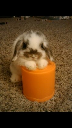Baby Holland Lop Ready For A New Home, this looks just like the bunny we had years ago Cute Baby Bunnies, Cute Babies, Bunny Bunny, Funny Bunnies, Cutest Bunnies, Mini Lop Bunnies, Mini Lop Rabbit, Lop Eared Bunny, Pet Bunny Rabbits