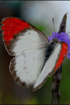 Crimson Tip Butterfly