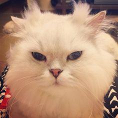 Evil eyes#cats #kitten #lovecats #ragdoll #chinchilla #Persian #kitten #meow #lovecat