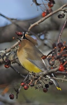 Cedar Waxwing Eating BerrThe Christmas Bird Count Begins On Sunday December And Runs Through Monday January The Period From 14 To