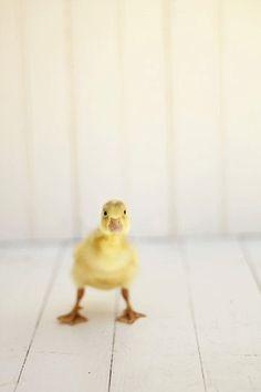 Duck Photography, nursery decor, funny cute, bathroom wall art, white, yellow wall art, kid's room decor, unisex nursery, 8x12 Print. $33.00, via Etsy.