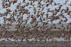 Great Knot - Tonji and Sylvia Ramos Wild Birds, How To Dry Basil, Philippines, Knots, Bird Species, Pictures, Image, Photos