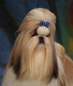 345 Best Shih Tzu Hairstyles Images Cubs Cute Puppies Pets