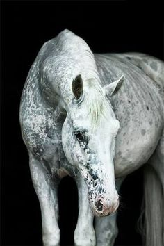Water speckled appaloosa horse