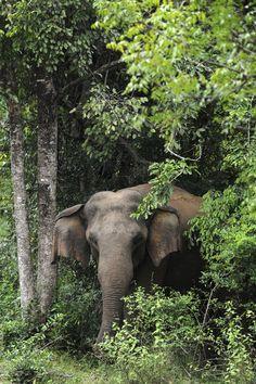 Elephant in Habarana park, Sri Lanka