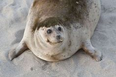A smiling, brown seal lying on its stomach in the sand. Cute Funny Animals, Funny Animal Pictures, Cute Baby Animals, Funny Cute, Animals And Pets, Cute Memes, Cute Creatures, Animals Beautiful, Beautiful Beautiful