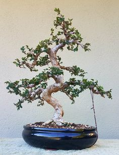 picture 3 i did some pruning and wiring on my yaupon holly pre rh pinterest com Kingsville Boxwood Bonsai Gardenia Bonsai
