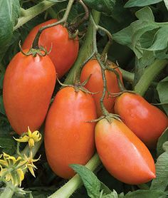 Tomato, San Marzano.HEIRLOOM. Almost no seed cavities—all meat. Sow indoors: Feb-May