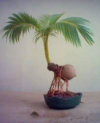 unusual bonsai plants - Google pretraživanje
