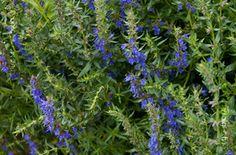 Hyssopus officinalis Plants, Plant, Planets