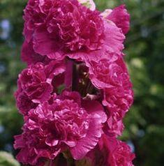 Alcea rosea plena 'Chaters Violett' - Gefüllte Stockrose