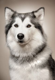 Posing Dog by Jonathan Laberge, via Flickr #dog #husky #animal