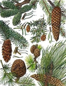 Pine Trees, Cones, and Needles 1975 Barbara Nicholson Botanical Lithograph ... in my shop now!: