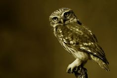 owl by wise photographie on 500px