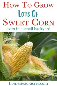 How to grow lots of sweet corn in your garden even if you have a small backyard! Easy tips for planting, growing and harvest lots of tasty corn in your organic garden. garden vegetable How To Grow Corn In A Square Foot Garden - Homestead Acres Organic Vegetables, Growing Vegetables, Gardening Vegetables, Regrow Vegetables, Growing Onions, Organic Plants, Growing Plants, Diy Garden, Garden Beds