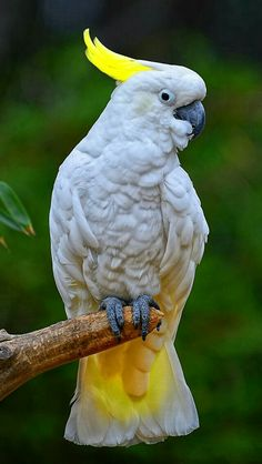 Parrott - Sulphur Crested Cockatoo