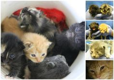 URGENT! A 3 year old cat and her 5 kittens just arrived at the shelter and they are in need of URGENT rescue!! The mom is semi feral and scared here at the noisy shelter, and she needs a quieter place to care for her 2 week old babies. This family needs rescue by a licensed group ASAP! Decatur, GA Email: rescue@dekalbanimalservices.com