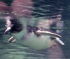 In the wild, this little penguin would swim and dive with other penguins (Wikimedia Commons: Wmpearl)