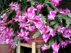 Flower-detail of bright pink 'Holiday' / Christmas Cactus [Schlumbergera] - Flickr - Photo Sharing!