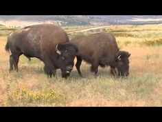 Bison sounds closeup in Montana - YouTube