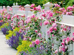 blühende Rosen am Gartenzaun