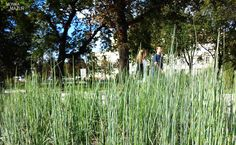 Skrzyp zimowy (Equisetum hyemale)