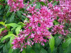 Fuchsia paniculé, Fuchsia à fleurs de lilas, Fuchsia paniculata