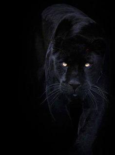 feline with golden eyes