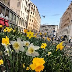 I narcisi di Milano | | #MCLifestyle #Narcisi #Narcisuss #SpringFlowers #Blooms #CityFlowers #Milano  via MARIE CLAIRE ITALIA MAGAZINE OFFICIAL INSTAGRAM - Celebrity  Fashion  Haute Couture  Advertising  Culture  Beauty  Editorial Photography  Magazine Covers  Supermodels  Runway Models
