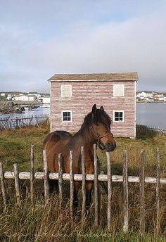 fence me in (Newfoundland pony) welcome to my 'crib'. Note the pamaramic view.(Newfoundland pony) welcome to my 'crib'. Note the pamaramic view. Newfoundland Canada, Newfoundland And Labrador, O Canada, Canada Travel, Alberta Canada, Beautiful Horses, Beautiful Places, Song Of The Sea, Atlantic Canada