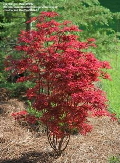 View picture of Japanese Maple 'Shaina' (Acer palmatum) at Dave's Garden.  All pictures are contributed by our community.