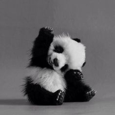 """"""" Panda: """"I know!"""" Panda: """"I know!"""" Panda: """"I know! Baby Animals Pictures, Cute Baby Animals, Animals And Pets, Baby Pandas, Panda Babies, Animal Pics, Wild Animals, Animal Babies, Animal Fun"""