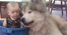 The heartmelting sight of a baby in a bucket, playing with her giant Malamute friends who clearly love her dearly...