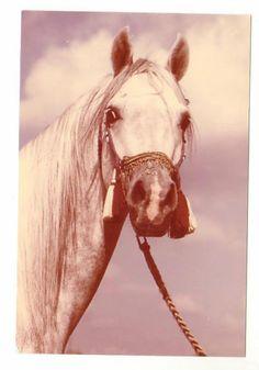 Schoene-alte-Pferdepostkarte-l-Araber-Schimmelhengst-Bandos-Sehr-guter-Zustand