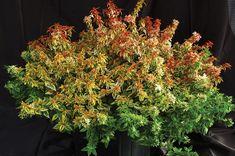 'Kaleidoscope' Abelia   Georgia Gardening Hot Plants