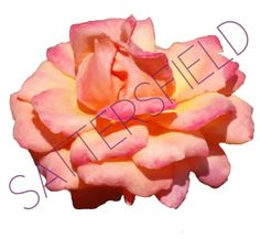 Need something a little different with a lot of color? Introducing Sattersfield's Peach Rose (digital painting). Available as a mural in either wallpaper or tile. If you would like to view the entire collection of florals, or if you have any questions, please contact me for details.