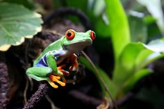 Red-eyed Tree Frog . . . Costa Rica . . Tortuga Island