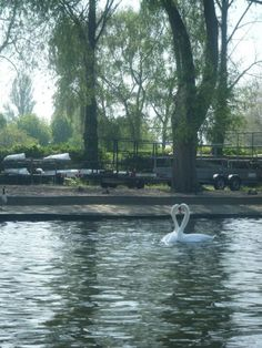 Kissing swans,Stratford Upon Avon, England
