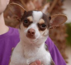 Polly is a tiny, 5-pound junior puppy who feels secure with soft-spoken people holding her.  She is recovering from abuse and terrified that someone will try to hurt her again.  Polly is a chocolate & cream & white Chihuahua, 11 months of age, spayed girl, ready for adoption at Nevada SPCA (www.nevadaspca.org).  She will likely bloom best in a home with a big sister or brother dog.  We rescued her from another shelter that asked for our help due to her timidity.