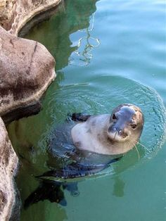 hawaiian monk seal <3 ~ Scientists don't know why this seal's population keeps declining
