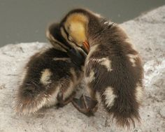 Duckling love
